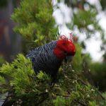 Australien Papagei