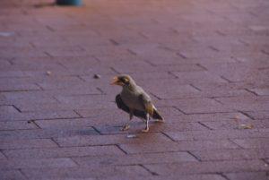 Australien Vogel