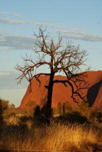 Baum vor Uluru