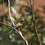 Uluru Tiere Vogel