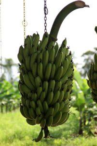 Waschanlage für Bananen