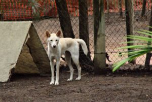Dingo im Billabong Sanctuary
