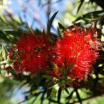Australien Pflanzen Blumen