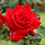 Rose England Gaerten