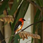 Vogel Mauritiusweber