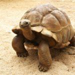 Riesenschildkröte Mauritius