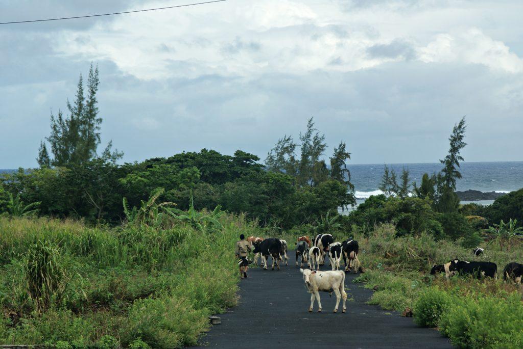 Kühe und Schafe auf einer Straße von Mauritius