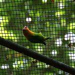 Agaporniden Erdbeerköpfchen Love birds Unzertrennliche