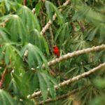 Roter Kardinal Vogel