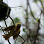 Gelber Dorfweber Vogel