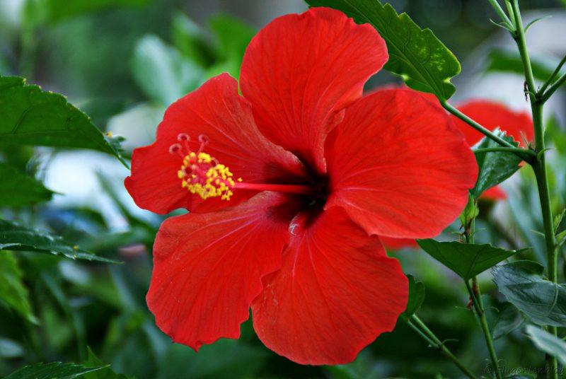 Blume Hibiskus Mauritius
