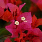 Bougainvillea Blume Mauritius
