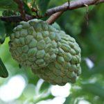 Zimtapfel Schuppenannone Frucht aus Mauritius