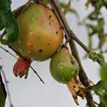 Granatapfel im Garten