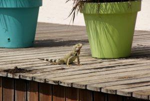 Leguan Aruba