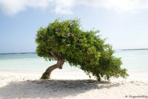 Divi divi Baum Aruba