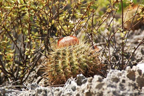 Bonaire Kaktus