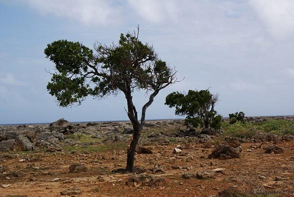 Bonaire Divi-Divi Baum