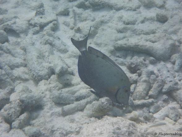 Bonaire Schnorcheln Ozean Doktorfisch
