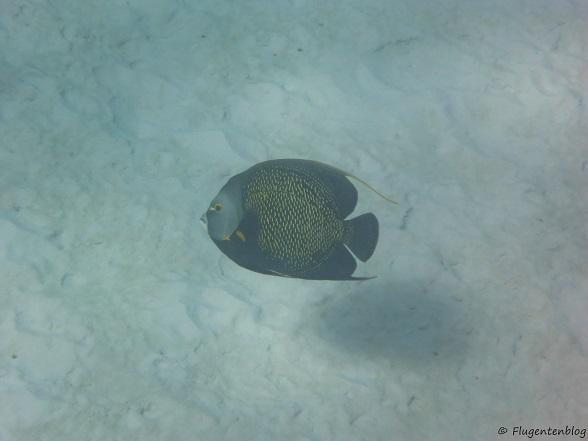 Bonaire Schnorcheln Franzosen-Kaiserfisch Angel fish