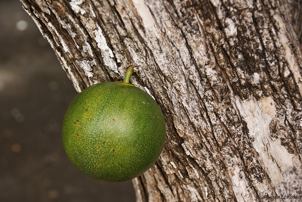 Bonaire Kalebassenbaum
