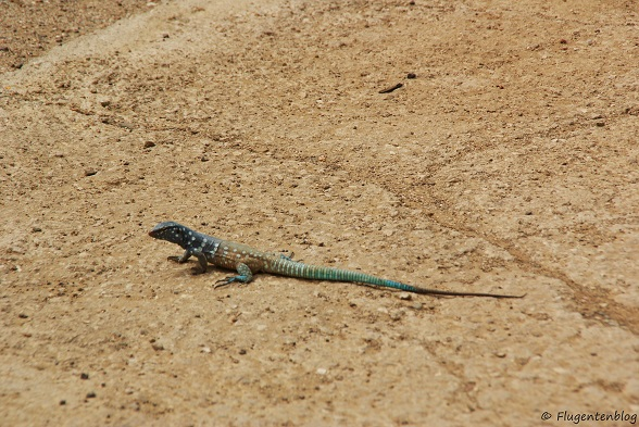Bonaire Leguan