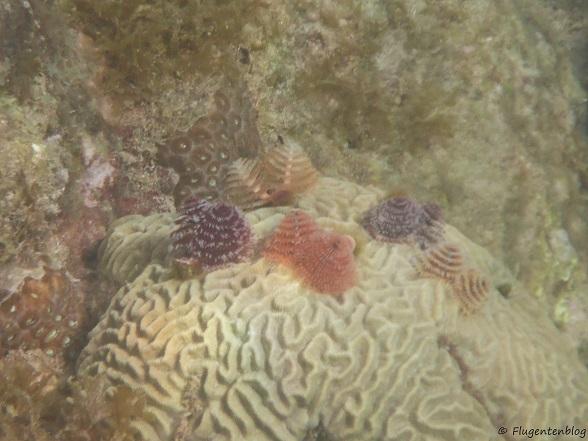 Curacao Schnorcheln Korallen