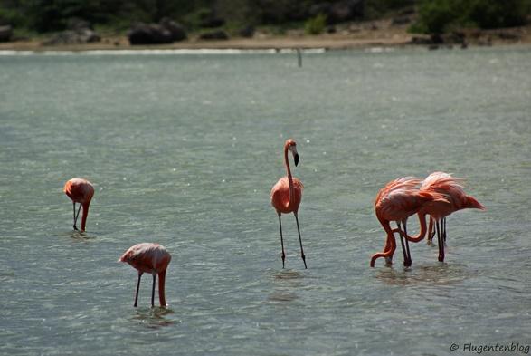 Curacao Flamingos