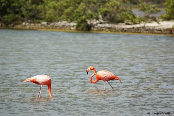 Curacao Saline Flamingos