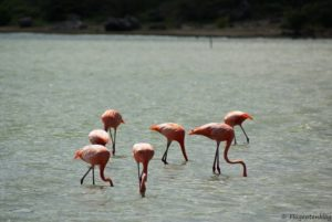 Flamingos Curacao