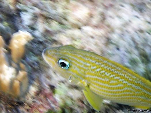 Curacao Fische Franzosen-Grunzer