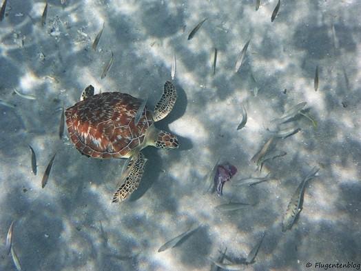 Meeresschildkroeten Curacao