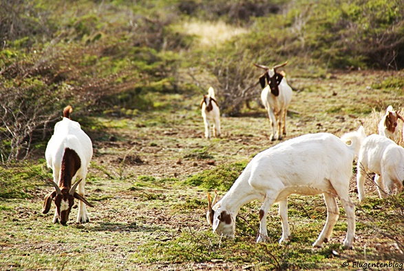 Curacao Ziegen Nationalpark