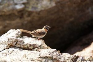 Curacao Vogel