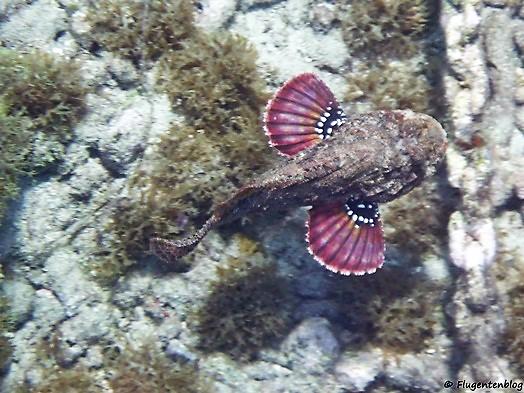 Steinfisch Curacao