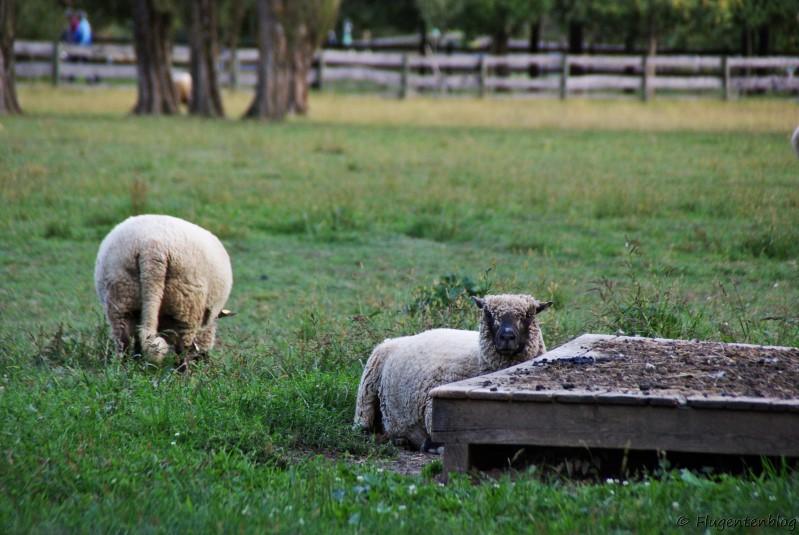 Blumau Symbiotische Landwirtschaft Schafe