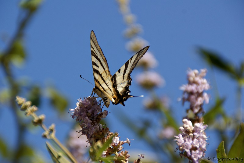 Schmetterling Skiathos