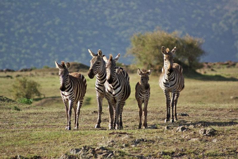 fuenf Zebras in der Masai Mara von Kenia
