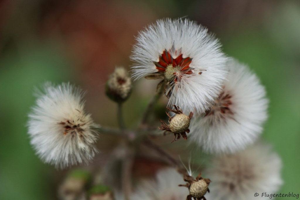 Blumen mit weißen Kopf und rotem Kern