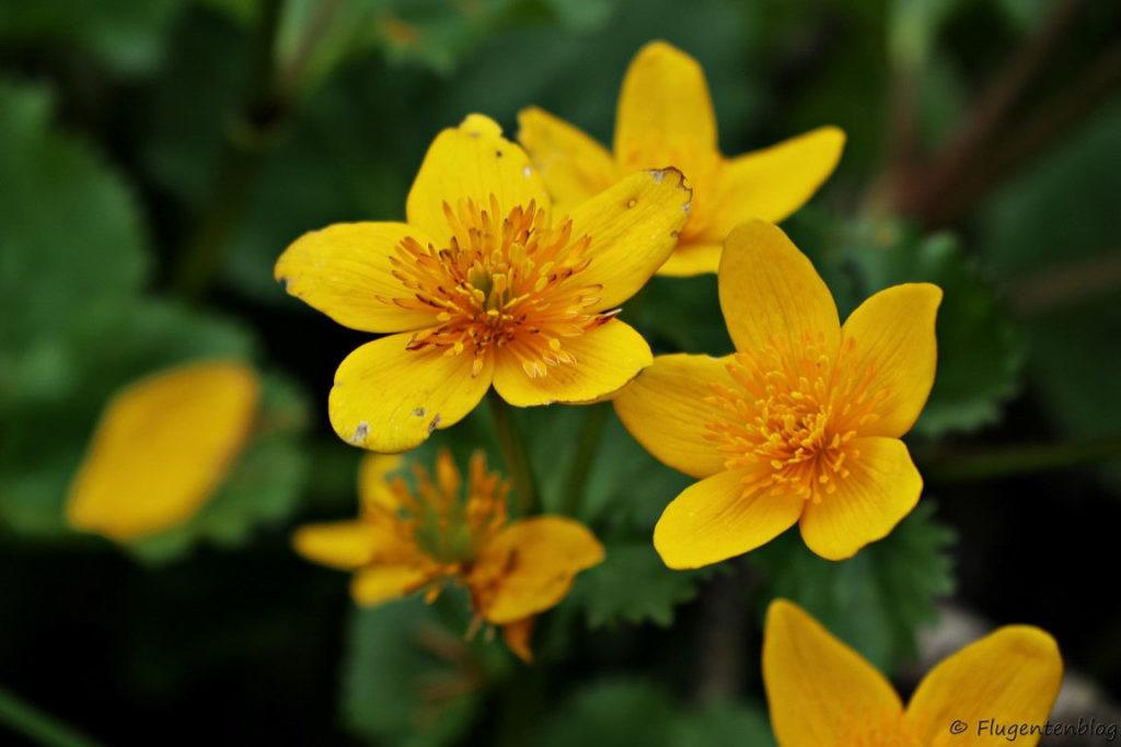 viele gelbe Blumen mit jeweils fuenf gelben Bluetenblaetter