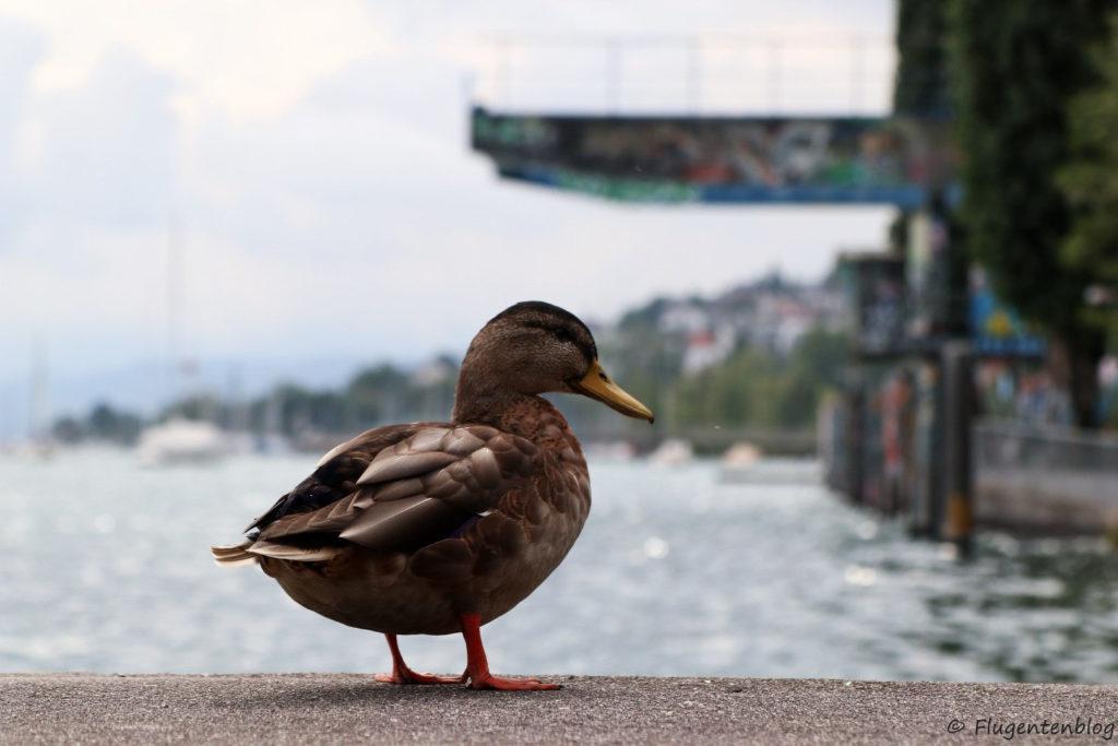Zuerichsee Ente