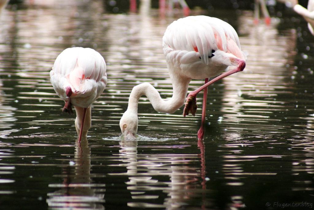 Salzburg Schloss Leopoldskron Flamingos