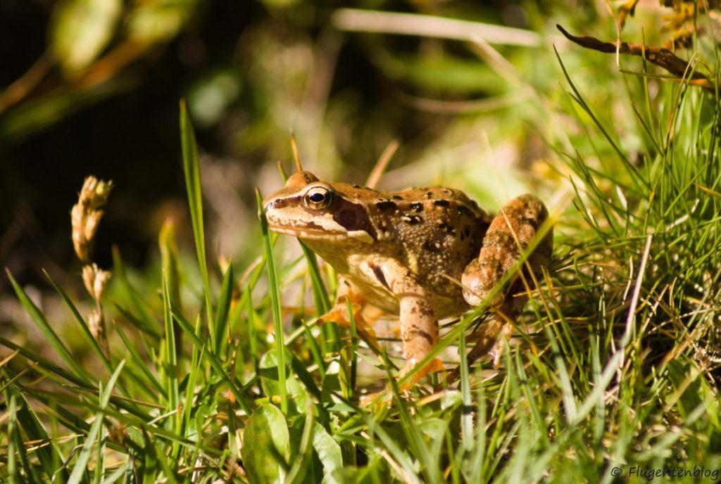 Montafon Tiere Frosch