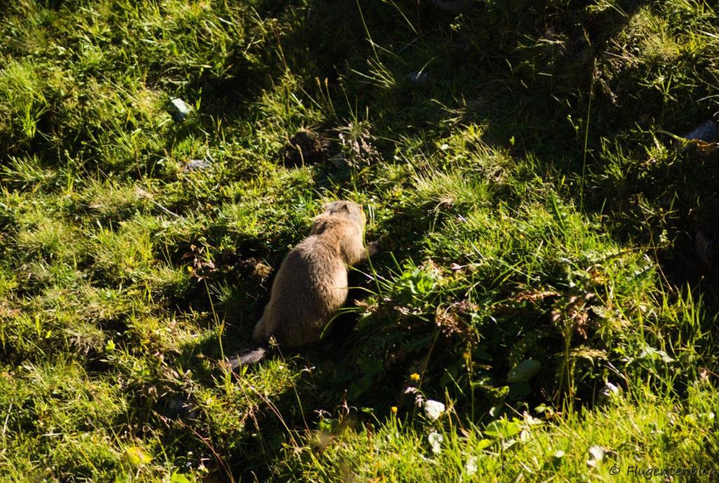 Montafon Murmeltiere