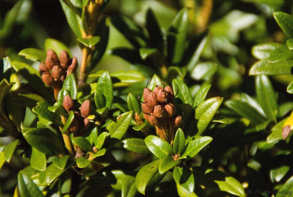 Montafon Urlaub Wandern Alpenrose